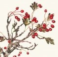 Greeting Card - Hawthorn Berries