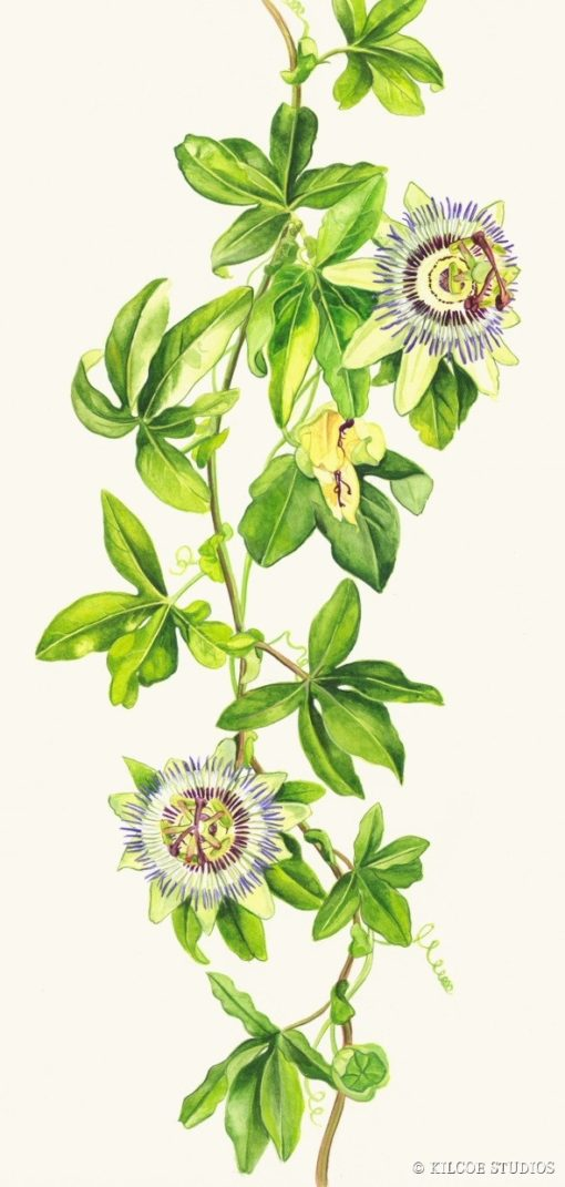 Greeting card - Passion Flower 10cm x 21cm