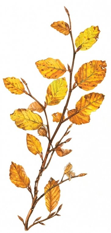 Beech Leaves - print - image size 15 cm x 30 cm