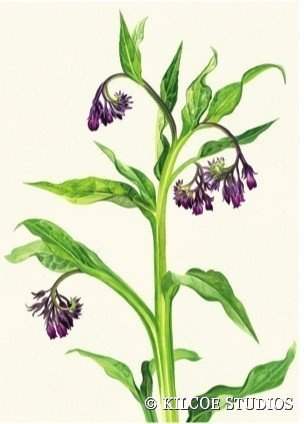 Greeting card - Comfrey