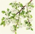 Greeting cards - Hawthorn Flower