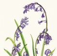 Greeting card - Bluebell