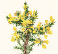 Greeting card - Gorse