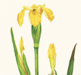 Greeting card - Yellow Iris