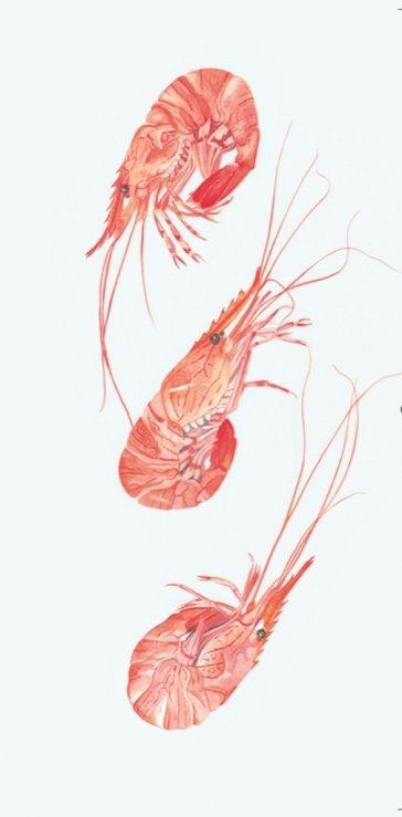 shrimp - web